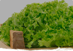 Fresh lettuces