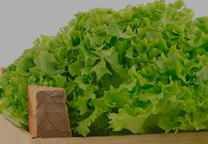 Fresh lettuces